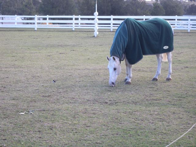 Horse grazing perennial pasture
